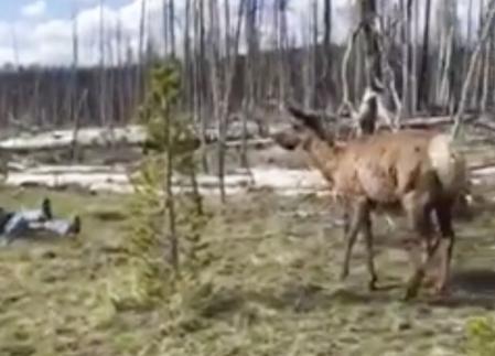 У Йеллоустонському заповіднику лось напав на відвідувачку, яка намагалася зробити з ним «селфі» (відео)