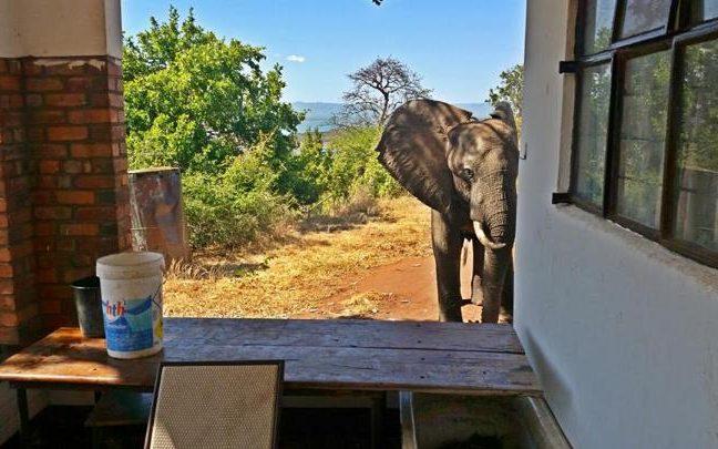У Зімбабве поранений слон звернувся в туристичний комплекс за допомогою