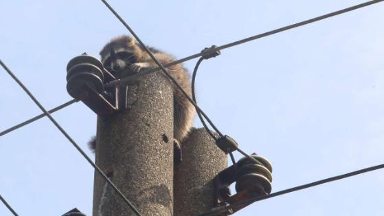 У німецькому місті Вурцена єнота три дні не можуть зняти з електричного стовпа
