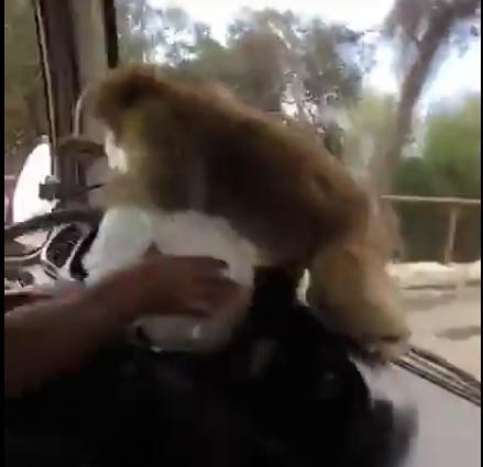В Іспанії мавпа пограбувала водія автобуса (відео)