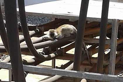 Незграбна кенійська мавпа залишила без електроенергії всю країну
