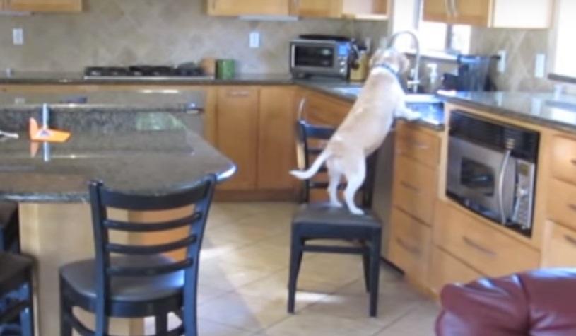 Мережу вразило відео з надзвичайно кмітливим псом, який краде їжу з мікрохвильової печі