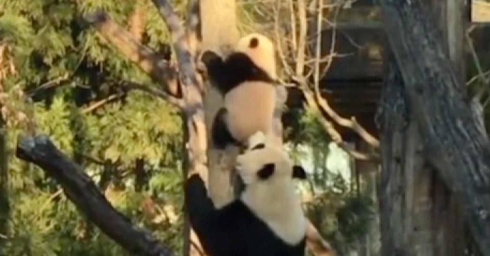Мережу підкорило відео з мамою-пандою, яка вчить дитинча спускатися з дерева