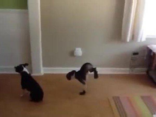 Мережу підкорило відео з псом, який крокує на двох передніх лапах