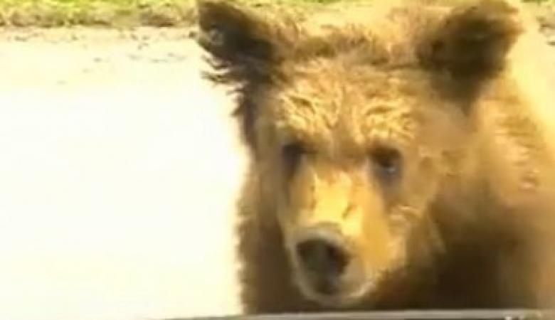Голодний ведмідь канючив їжу в туристів у російській Карелії (відео)