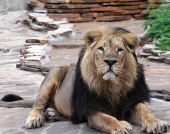 П'яний індієць стрибнув у вольєр до левів, щоб потиснути їм лапи (відео)