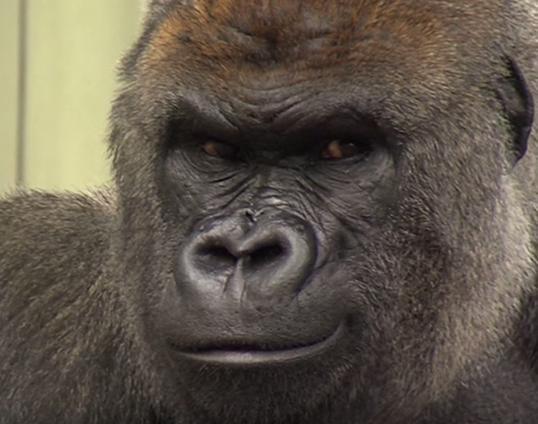 У зоопарку Дубліна горила втратила свого партнера, з яким прожила понад 20 років