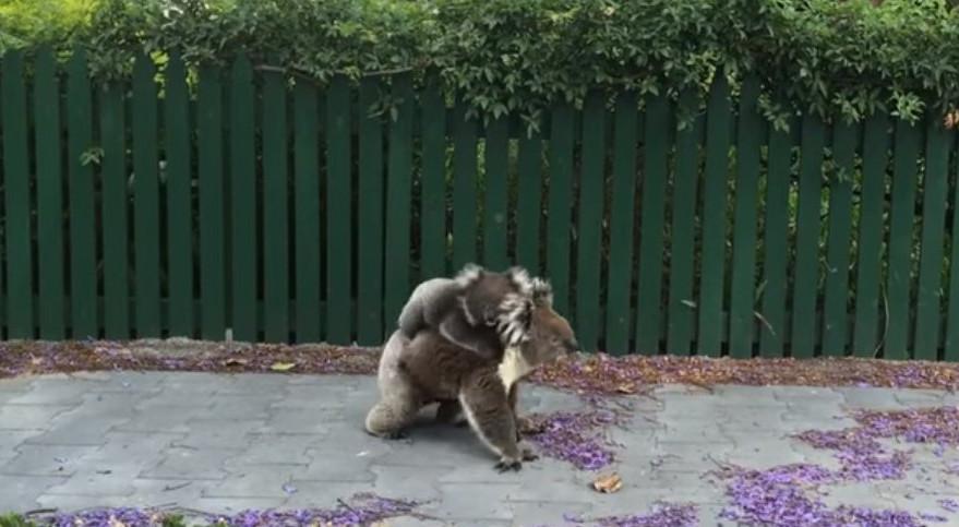 Мережу вразило відео з коалою, яка гуляє по тротуару в Австралії