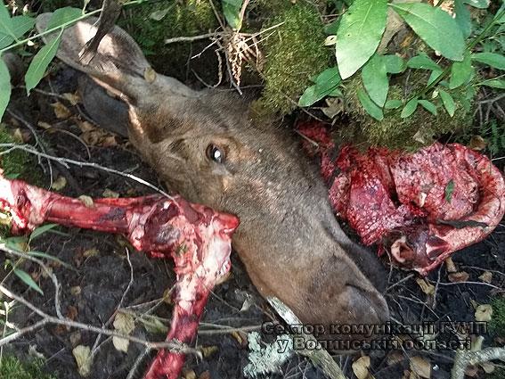 Волинські поліцейські спіймали браконьєрів, які вбили лося в національному парку