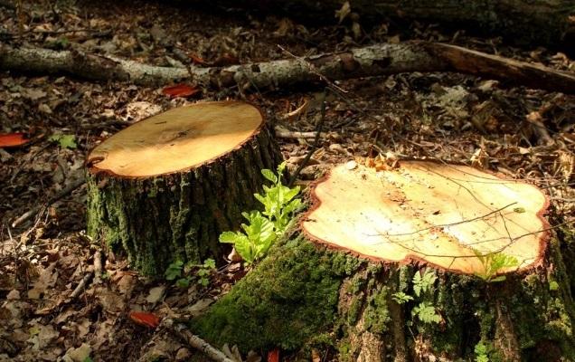 На Волині ліси нищать самі лісівники