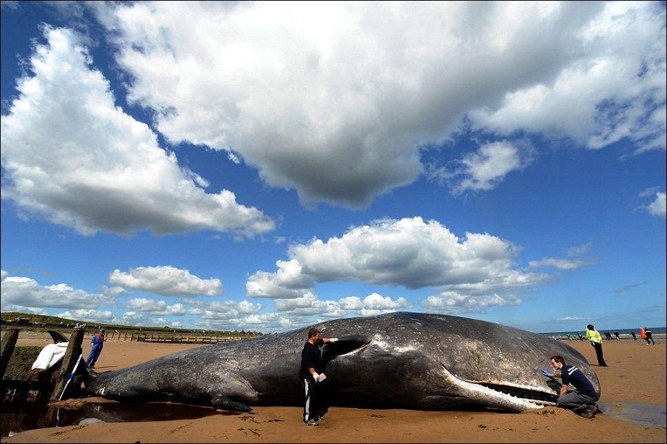 На бразильський берег викинуло мертвого 30-тонного кита