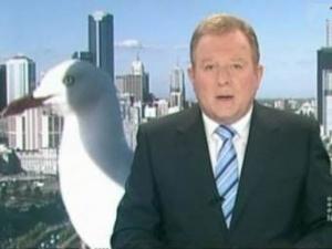 Велетенська чайка увірвалась у ефір австралійського телебачення