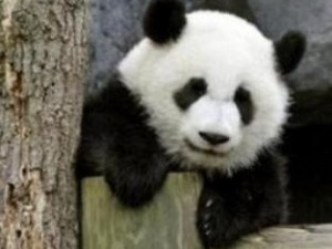 Американська панда вивчатиме китайську мову
