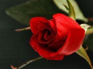 Голландські прикордонники знайшли у трояндах вантаж кокаїну