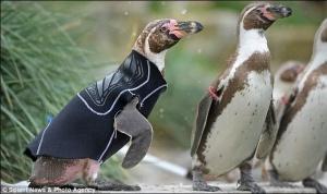 Лисого пінгвіна в сонцезахисному костюмі прийняли у зграю