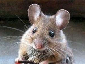 Миші майже повністю з'їли Музей хліба у Вінниці
