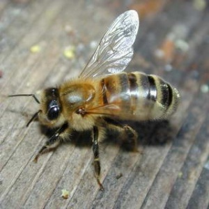 У Тернополі з'явиться пам'ятник бджолі