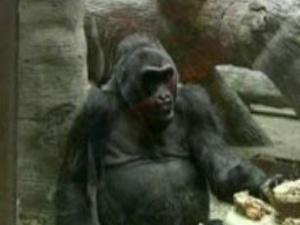 Найстарішій горилі, яку утримують в неволі, виповнилося 53 роки