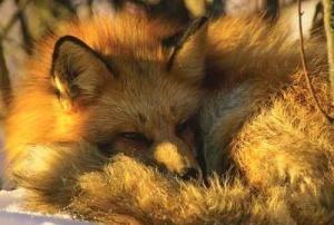 Сьогодні день лисиці у Київському зоопарку