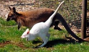 У Данії живе білий кенгуру