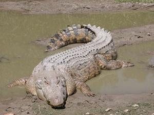 У Камбоджі знайшли популяцію рідкісних сіамських крокодилів