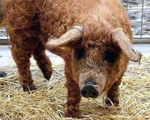 На британському аукціоні продали кучеряву свиню за 250 фунтів