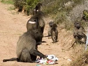 В Африці мавпа обікрала британських туристів
