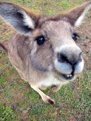 Сп'янілі від маку кенгуру витоптують кола на полях Австралії
