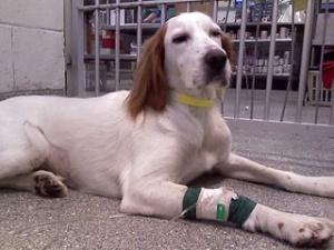 В Японії відкрилися пункти прийому донорської крові собак