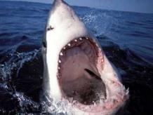 Білі акули діють, як серійні вбивці