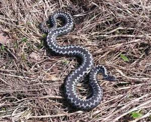 Волинь атакують змії