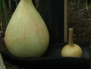Британський фермер щорік вирощує гігантські овочі