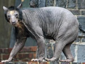 Ведмедиці зоопарку у Лейпцигу лисіють від невідомої хвороби
