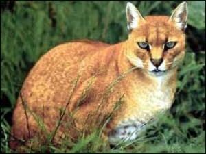 Рідкісну золоту кішку вполювали у джунглях Африки
