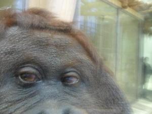 Самка орангутанга завела собі профіль в Facebook